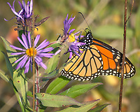 Monarch Butterfly Feeding on a Purple Wildflower. Image taken with a Nikon D2xs camera and 80-400 mm telephoto zoom lens (ISO 400, 400 mm, f/5.6, 1/640 sec).