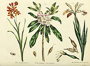 Ixia [Deep Yellow Cape Ixia], Kalmia latifolia [Brown-Leaved Kalmia], Iris squalens [Brown-flowered Iris] from Vol 1 of the book The universal herbal : or botanical, medical and agricultural dictionary : containing an account of all known plants in the world, arranged according to the Linnean system. Specifying the uses to which they are or may be applied By Thomas Green,  Published in 1816 by Nuttall, Fisher & Co. in Liverpool and Printed at the Caxton Press by H. Fisher