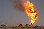 One of several hundred camels grazing in the Rumaila Oil Field of Southern Iraq walks in front of a burning oil well being fought by the Kuwaiti Wild Well Killers, a division of the Kuwait Oil Company. The Rumaila field is one of Iraqs biggest oil fields with five billion barrels in reserve. Many of the wells are 10,000 feet deep and produce huge volumes of oil and gas under tremendous pressure, which makes capping them very difficult and dangerous. Rumaila is also spelled Rumeilah.. (Supporting image from the project Hungry Planet: What the World Eats.).