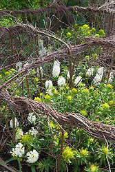 Euphorbia palustris and Hyacinthus 'White Pearl' supported by wover birch nests