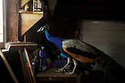 PEACOCK 072210<br /> <br /> Assignment Number: 105030<br /> <br /> A male peacock looks out of a window in a garage in Seattle. The captured bird had been roaming the Brighton neighborhood since springtime in south Seattle. (Erika Schultz / The Seattle Times)
