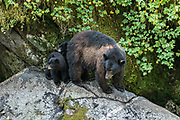 Timid American black bear cubs hide behind their mother in the temperate rain forest at Anan Creek in the Tongass National Forest, Alaska. Anan Creek is one of the most prolific salmon runs in Alaska and dozens of black and brown bears gather yearly to feast on the spawning salmon.