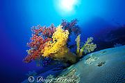 soft corals,<br /> Dendronephthya sp.,<br /> Flinders Reef, Coral sea, <br /> Australia