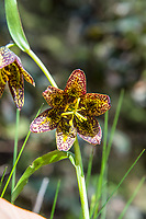 """Also known as the checker lily or mission bells, the chocolate lily (Fritillaria lanceolata - fritillaria refers the mottled or checkered pattern on the petals) is a native, somewhat uncommon to rare member of the lily family found in cool mid-elevation mountains to coastal forests ranging from Northern California to British Columbia, and as far east as Idaho. One the eastern side of the Cascade Mountains it can be found growing in open prairies and grassy bluffs. The chocolate lily grows from tiny rice-like bulbs and once was used as a food source to the indigenous people who have lived here for millennia. The Haida, a tribe from British Columbia when first introduced to rice, referred to this new food as """"fritillary-teeth."""" These were part of a large colony found and photographed in the Olympic National Forest next to Lake Cushman on a bright and sunny May spring morning, just west of Hoodsport, Washington."""