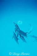 Atlantic spotted dolphins, Stenella frontalis, blowing bubble ring, Bahamas ( Western Atlantic Ocean )