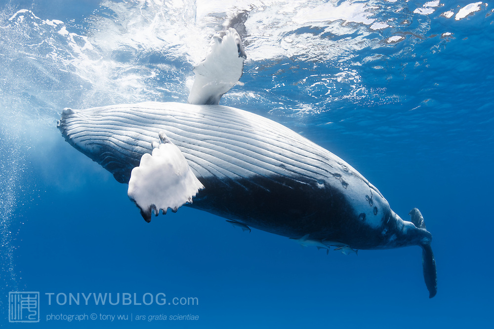 Male humpback whale calf (Megaptera novaeangliae) playing at the ocean surface. This calf and his mother were the stars of the 2013 season in Vava'u, Tonga. They were friendly and interacted with people in the water.