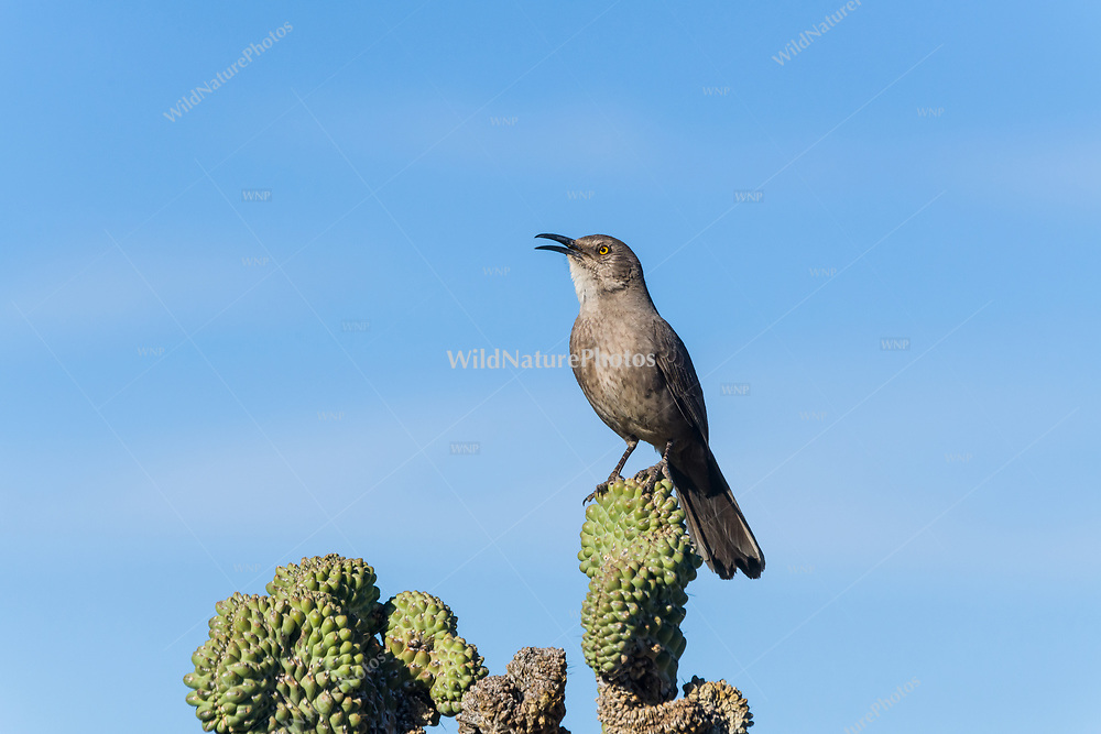 Curve-billed Thrasher (Toxostoma curvirostre) singing from a perch on a chain-fruit cholla (Cylindropuntia fulgida). (Arizona)