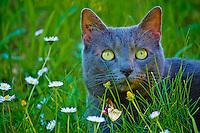 France, Dordogne, Mujra le chat domestique // France, Dordogne, Mujra, the domestic cat