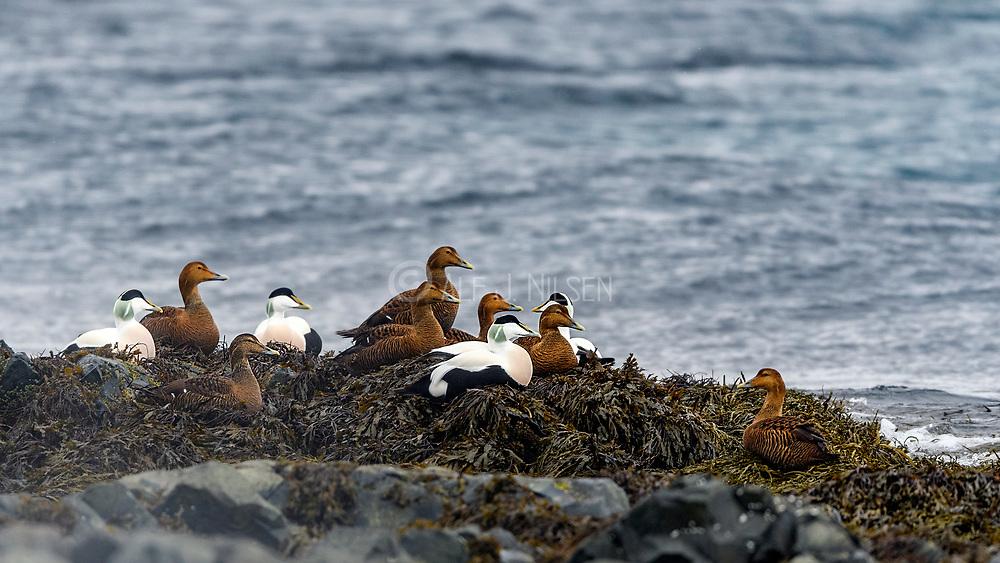 Common Eiders (Somateria mollissima) resting on the shore at Vardö, Finnmark, Norway.