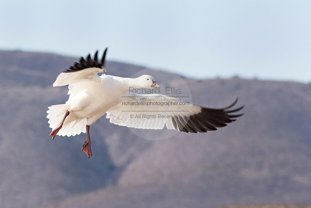 A snow goose flying at the Bosque del Apache National Wildlife Refuge in San Antonio, New Mexico. About 32,000 snow geese overwinter at the refugee and move in mass during the morning and evenings.