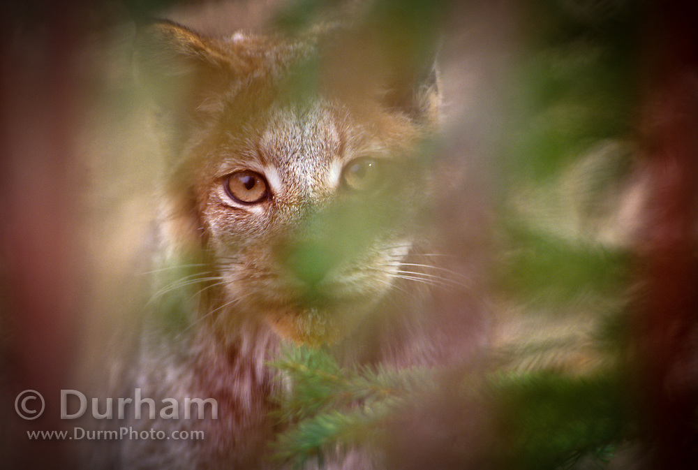 A lynx (Felis lynx) watches from behind thck brush. Lynx are ambush hunters and prefer to strike at prey when they have the advantage of surprise. Montana.
