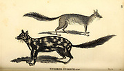 Various Opossums from General zoology, or, Systematic natural history Part I, by Shaw, George, 1751-1813; Stephens, James Francis, 1792-1853; Heath, Charles, 1785-1848, engraver; Griffith, Mrs., engraver; Chappelow. Copperplate Printed in London in 1800. Probably the artists never saw a live specimen