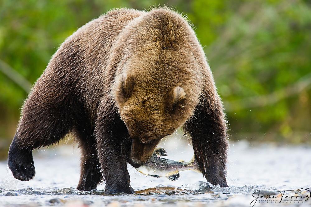 A coastal brown bear ( Ursus arctos ) successfully catches a fresh salmon, Katmai Peninsula, Alaska