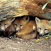Red Fox, (Vulpus fulva) Kits at den entrance.  Montana. Captive Animal.