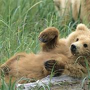 Alaskan Brown Bear (Ursus middendorffi) cub lazily lounging in Katmai National Park, Alaska.