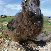 Black-footed Albatross chick. Midway Island, Hawaii