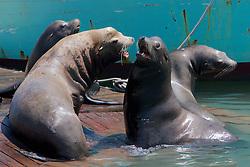 California Sea Lions On Dock