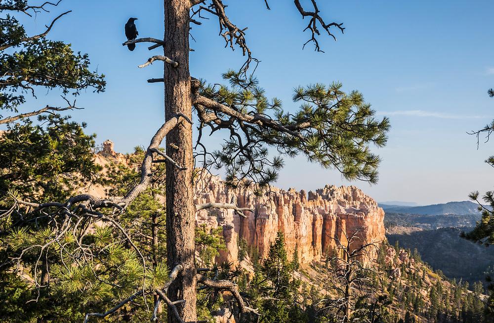 A raven sits on a branch along the canyon rim at Bryce Canyon National Park, Utah, USA.