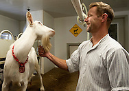 BLOOMSDALE, Mo. – OCT. 8, 2015: Steve Baetje, who with his wife Veronica Baetje owns and operates Baetje Farms LLC, grooms a goat while doing his daily milking at the farm in Bloomsdale, Mo., Thursday, Oct. 8, 2015. Goat cheeses made at Baetje Farms have won major national awards and the respect of cheese aficionados across the country.<br /> <br /> CREDIT: Sid Hastings for The New York Times