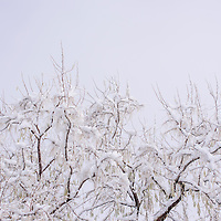 Snow clings to branches in Gallup Saturday after a winter storm that deposited several inches on much of New Mexico.