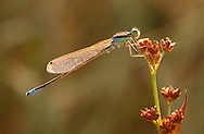 Scarce Blue-tailed Damselfly - Ishnura pumilio