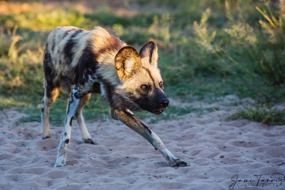 An alert and curious African wild dog (Lycaon Pictus) on the move, Kalahari Desert, Botswana, Africa