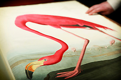 © under license to London News Pictures. (06/12/10) The American Flamingo plate in Audubon's Bird's of America on display ahead of Sotheby's London Sale of Magnificent Books, Manuscripts and Drawings due to take place on 7th Dec 2010, from the collection of Frederick, 2nd Lord Hesketh, The Property of Trustees of the 2nd Baron Hesketh's Will Trust. Photo credit should read: Olivia Harris/ London News Pictures