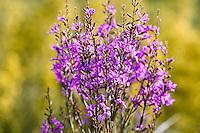 Purple-loosestrife (Lythrum salicaria) on the field of Hortobagy National Park, Hungary