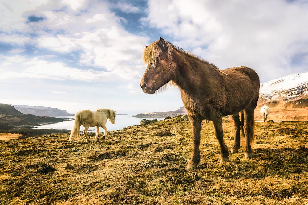 Icelandic horses at the Westfjords