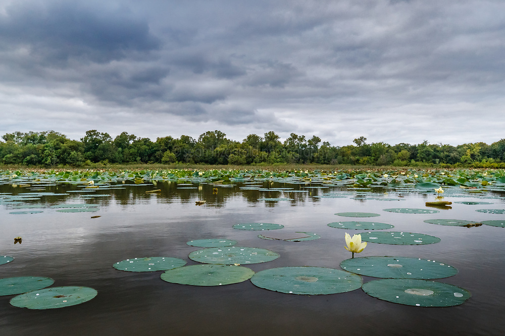 """Flowering American lotus and Greer Island in Lake Worth, Fort Worth Nature Center, Fort Worth, Texas USA. Greer Island is the home of the famed Lake Worth Monster, or """"Goatman""""."""