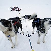 INTERNATIONAL ARCTIC PROJECT. Expedition dogs howl during lunch break on frozen Arctic Ocean.
