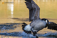 Canada Goose at Woodland Park in Kalispell, Montana, USA