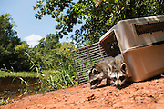 Wildcare racoon release for Oklahoma Today