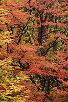 Bright red autumn foliage of the lenga tree, Los Glaciares National Park, Argentina