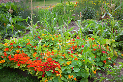 Organic pest control using companion planting. Nasturtiums planted amongst sweetcorn to attract aphids and pests away from main crop. Tropaeolum majus