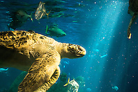 A giant sea turtle swims through light rays at the Tennessee Aquarium in Chattanooga, TN.