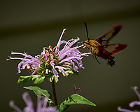 Clearwing Hummingbird Moth on a Wild Bergamot Flower. Image taken with a Fuji X-H1 camera and 80 mm f/2.8 macro lens