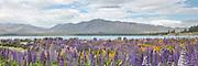 A field of lupins and poppies at Lake Tekapo, New Zealand.