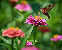 Hummingbird Clearwing Moth (Hemaris thysbe) feeding on a Zinnia Flower. Image taken with a Nikon D5 camera and 200-500 mm f/5.6 VR lens