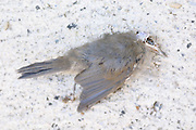 Remains of grey bird with skeleton head and grey feathers lying on white surface, 1st  June 2002, Lagrasse, France.