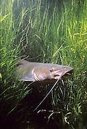 Channel Catfish Underwater