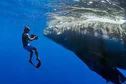 Humpback Whale, Megaptera novaeangliae, Hawaii, Pacific Ocean