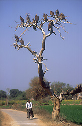 Vultures sitting in tree with people cycling past underneath; India,