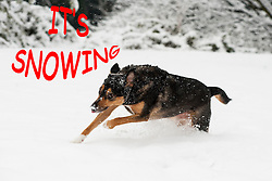 Winter Weather Funny Dog running in snow 21 January 2013.Image © Paul David Drabble