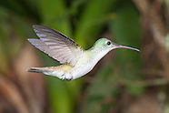 Andean Emerald, Amazilia franciae