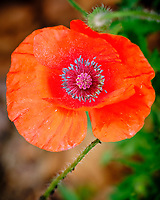 Red Poppy flower. Image taken with a Fuji X-H1 camera and 80 mm f/2.8 macro OIS lens.