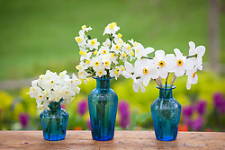 Narcissus in blue vases. Narcissus 'Silver Chimes', N. 'Avalanche' and N. 'Actaea'