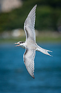 A juvenile common tern banks sharply off the shore of Morris Island in Chatham.