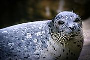 A harbor seal (Phoca vitulina) at the Oregon Coast.