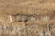 Large Mule deer buck following doe in open habitat.
